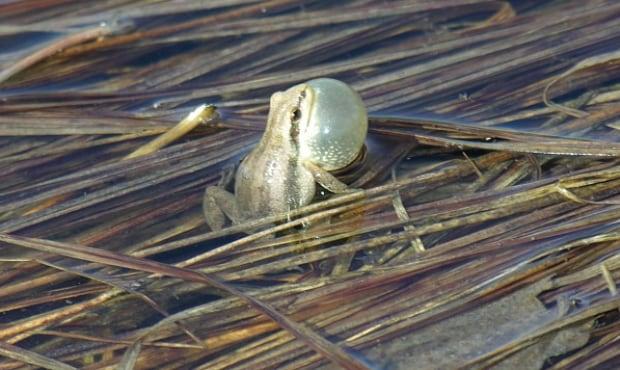 Boreal chorus frog, Manitoba Herps Atlas