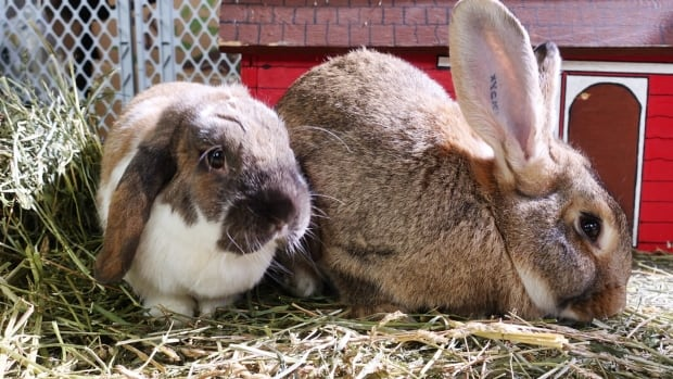 The Montreal SPCA takes in hundreds of abandoned rabbits every year once Easter has come and gone.