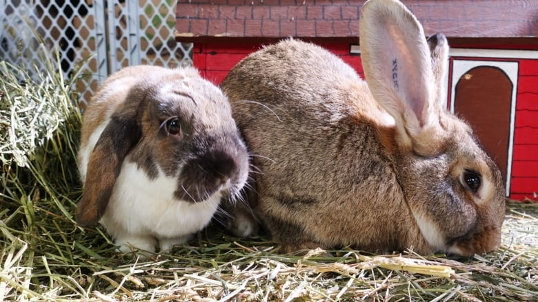 Stop buying bunnies as gifts for easter pleads spca montreal montreals spca receives around 250 abandoned rabbits every year jared thomascbc negle Gallery
