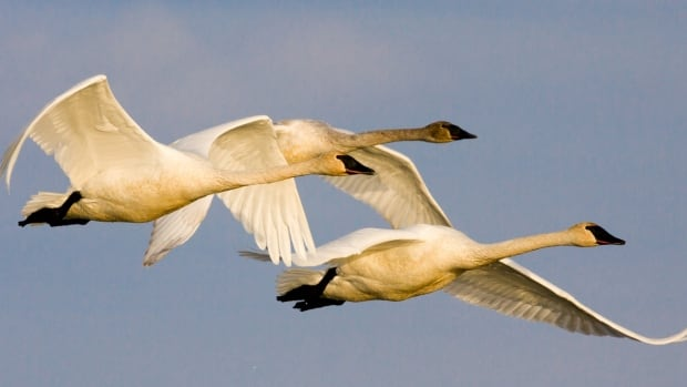Trumpeter swans make their way from southern B.C. and Washington State, to northern Yukon and Alaska each spring.