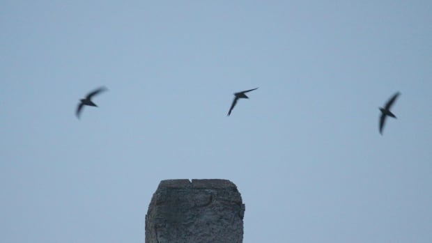 Conservation group calls for volunteers to track, observe threatened chimney swift