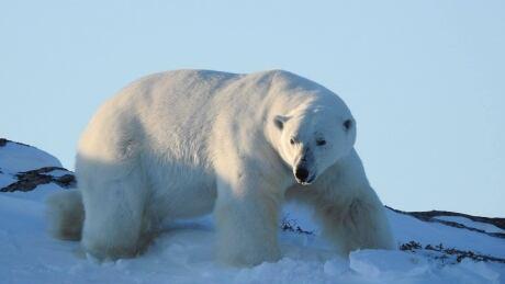 Close encounters polar bear labrador