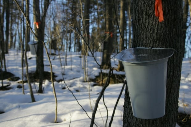 Sap bucket maple syrup