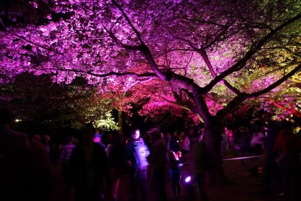 Sakura Illumination cherry blossoms