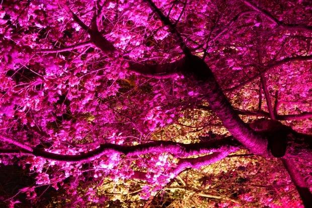 Sakura Illumination