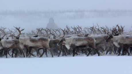 New Inuvik-Tuk Highway prompts changes to annual reindeer viewing event thumbnail