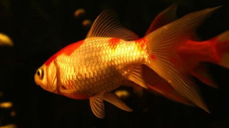 st albert goldfish infestation a conservation concern cbc news