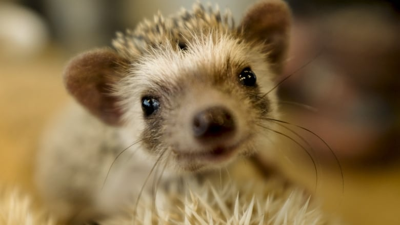 32 salmonella cases in 6 States tied to pet hedgehogs thumbnail