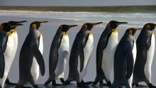 Falkland Islands King Penguin