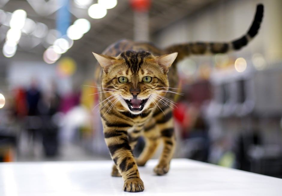 ITALY-ANIMALS bengal cat show in Rome April 3 2016