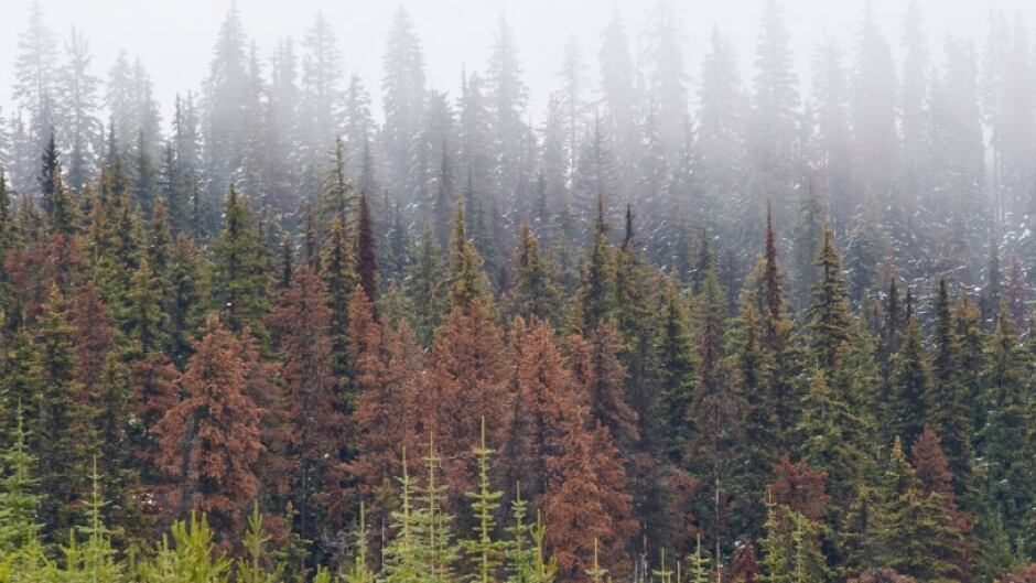 Foresters expect limitations on future timber supplies after provincial forests were devastated by the mountain pine beetle