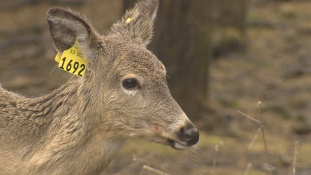 The New Brunswick deer herd has seen a decline since the 1980s, according to figures released by the Department of Natural Resources.