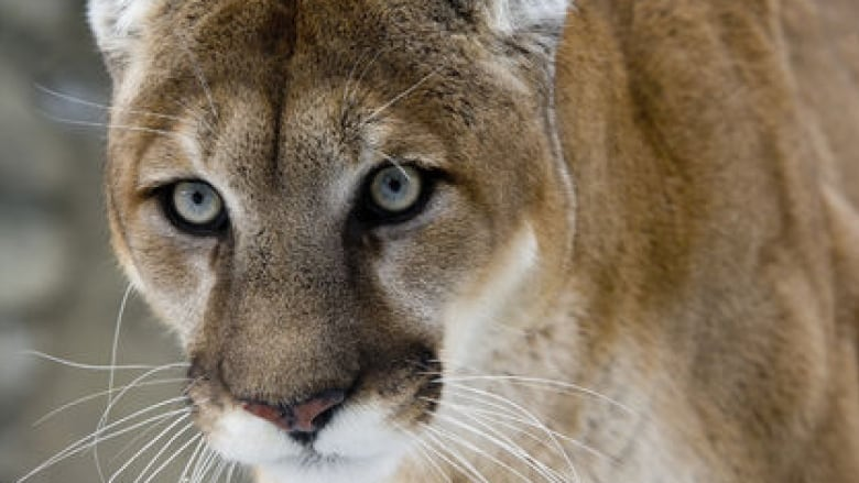'You want to fight back': Wildlife expert praises Alberta man for punching angry cougar