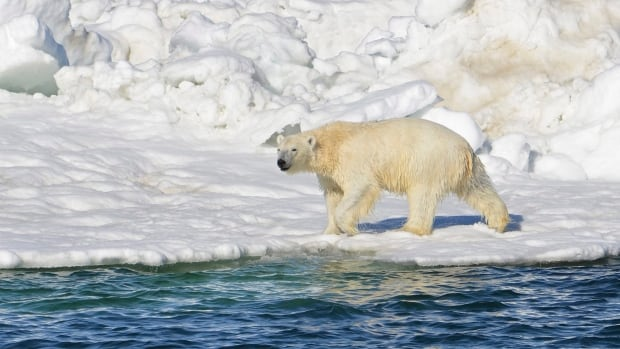 We could be saying goodbye to polar bears