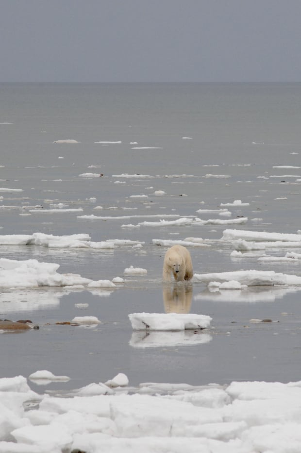 Polar bear ice melt
