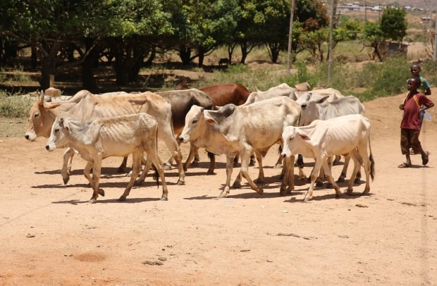Cattle search for water in Ethiopia