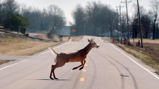 A white-tailed buck bounds across the road. MPI warns motorists to watch out for deer, especially around dawn and dusk