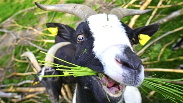 The City of Calgary is trying a unique pilot project to study the use of goats for targeted weed control.
