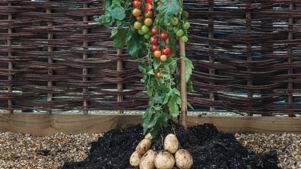 The TomTato plant grows cherry tomatoes on top and potatoes underneath.
