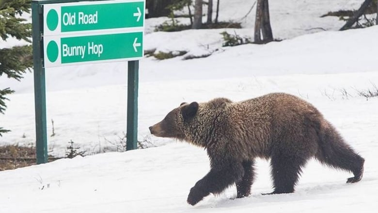 Grizzly 'shooed' away after surprise appearance at Marmot Basin