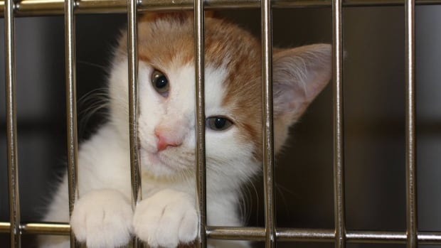 Cats For Adoption In Toronto Humane Society