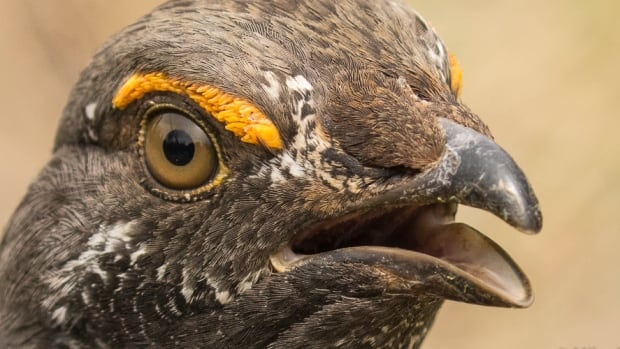 This menacing male dusky grouse has been chasing people on the Montane trail above Canmore, Alta.
