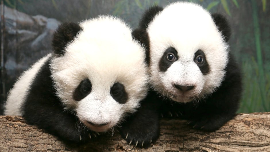 Giant pandas, like these cubs, compromise when it comes to their black and white colour patches.