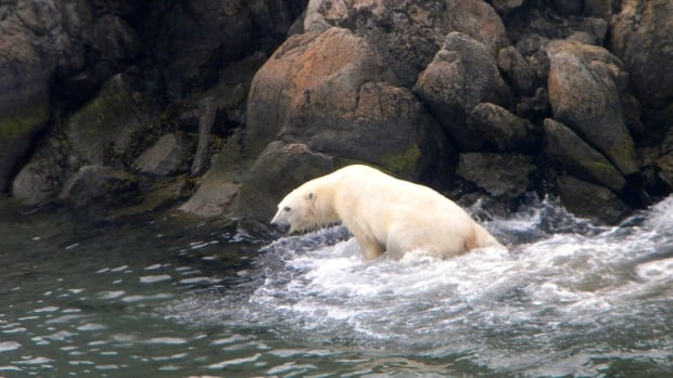 A polar bear spotted in the Torngat mountains by Adamie Delisle Alaku, executive vice-president of Makivik.