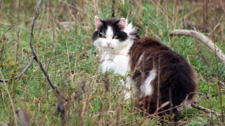 17,000 feral cats could be roaming Toronto — and experts say that's good news