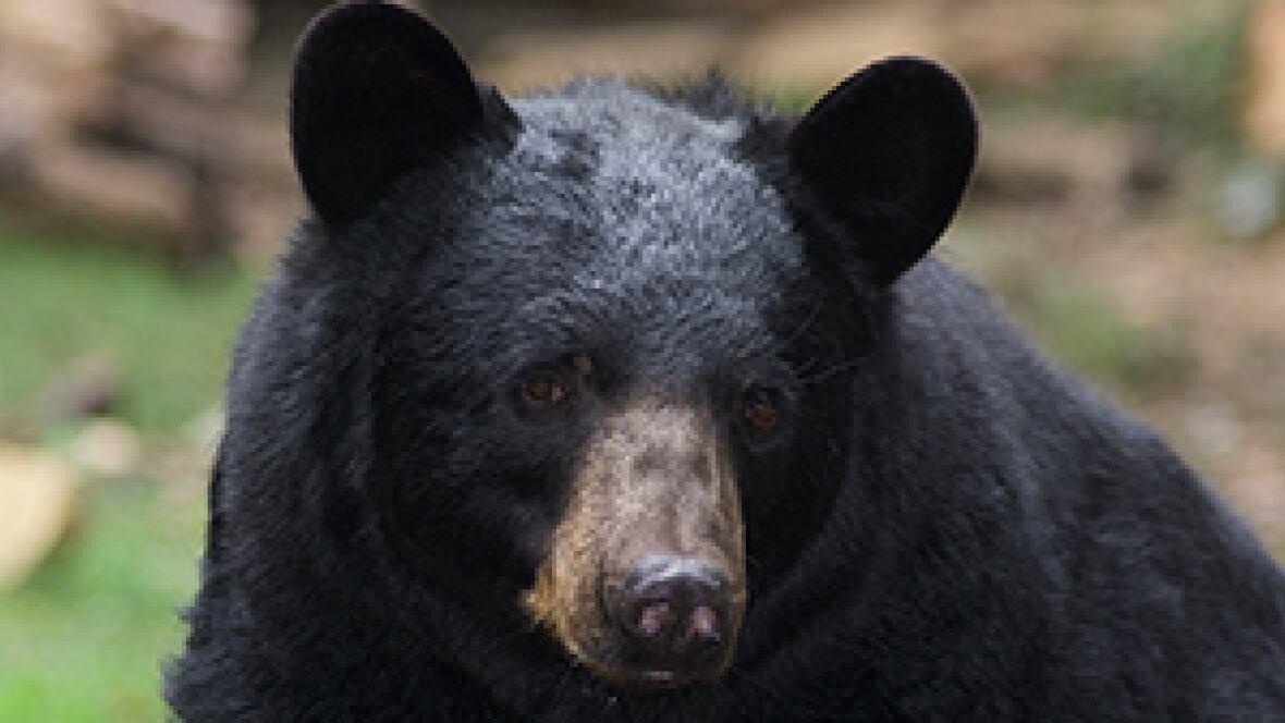 Bears Ears Map >> Black bears scavenging empty Fort McMurray - Edmonton - CBC News