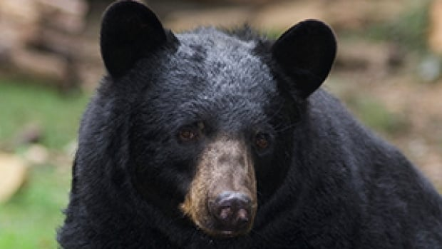 A typical black bear, like this one, would normally hibernate until mid-April in Yukon according to wildlife officials.