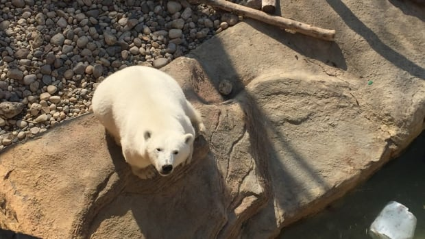 Polar bears at the Assiniboine Park Zoo are fed different colours of glitter to help identify their droppings. The research tracks hormonal changes a young bear goes through from cub to maturity.
