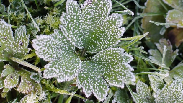 Frost generic green plant