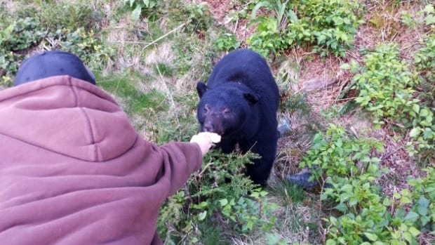 B.C. conservation officers weren't happy after seeing what is believed to be a man hand-feeding a bear off a B.C. highway.