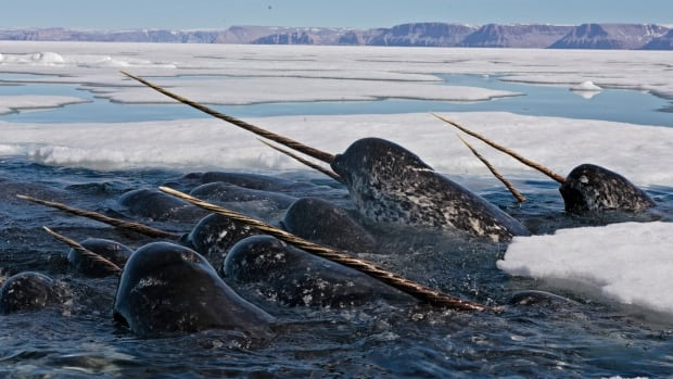 "Narwhals — a unique Arctic whale best known for the large ""tusk"" from a protruding canine tooth — is at risk as the Arctic undergoes major climate change."