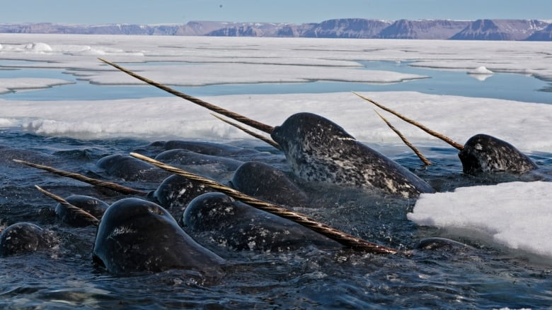 Narwhals have survived 1 million years despite low genetic diversity: study