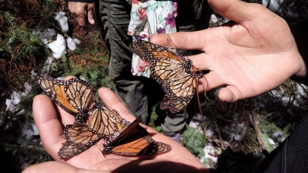 Freezing rain and snow coated and killed monarch butterflies in Mexico back in March.