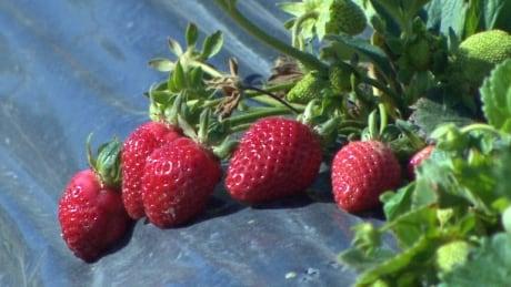 Ripe strawberries Maan Farms Abbotsford