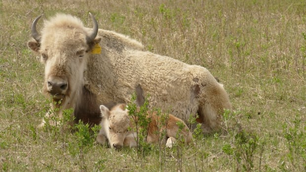Birth Of Rare White Bison Calf Draws Visitors To Western