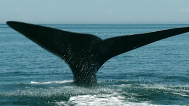 There are only 500 right whales left.