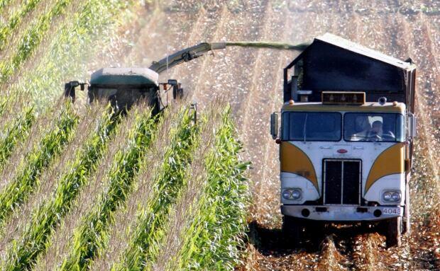 Biotech Corn At Risk