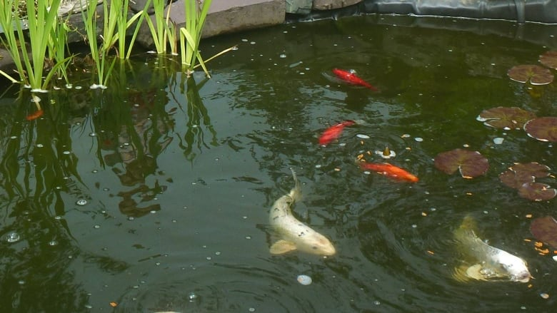 We're devastated': Koi fish caper in Brigus Junction | CBC News