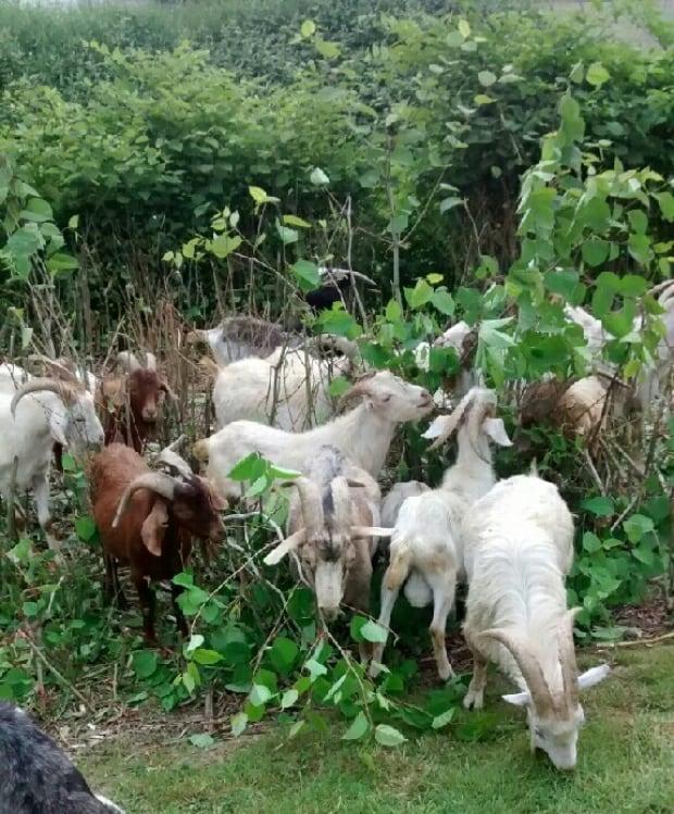 Goats invasive plants Japanese Knotweed
