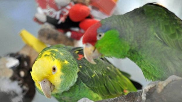 Hundreds of parrots are living at the World Parrot Refuge in Coombs.