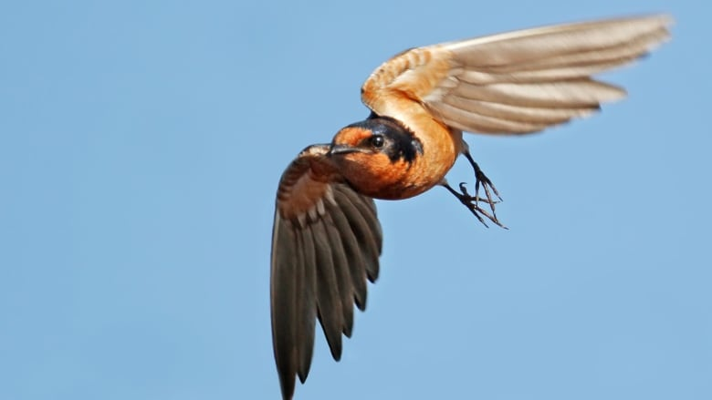 9 cool facts about barn swallows cbc news