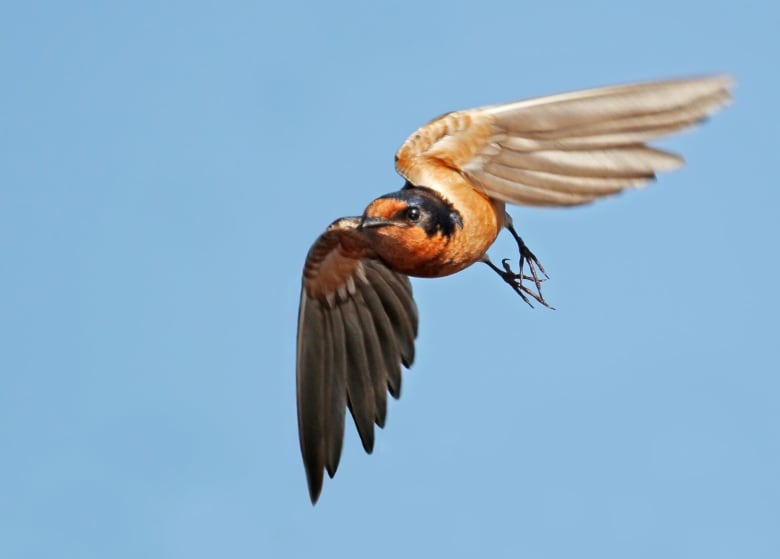 Aerial Insectivores That Is Birds That Catch Insects In
