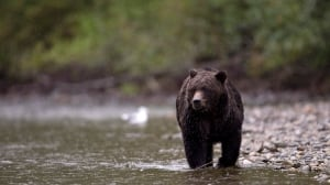 'Most dangerous situation I've ever seen': B.C. hot springs closed over food-habituated bears