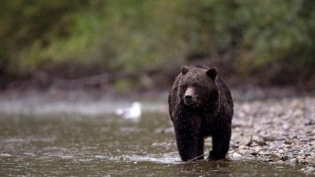 Banff Bear Sighting 20140318