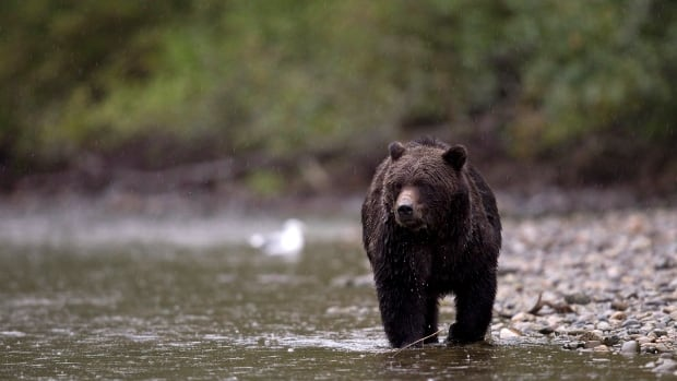 Aggressive grizzly bears and black bears have shut down a trail leading to a hot spring near Pemberton, B.C.