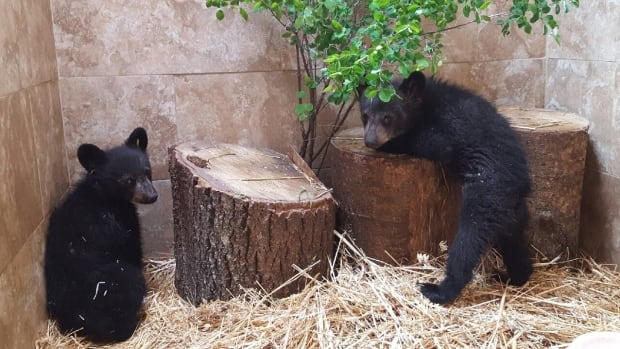 These two bear cubs were tranquilized and sent to a wildlife shelter after their mother had to be euthanized.